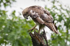 Red-tailed Hawk - preparing