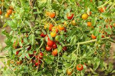Comment planter des tomates et réussir la création d'un potager digne de ce nom? Pour trouver la réponse à ces deux questions, nous vous invitons à adopter