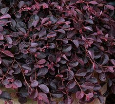 Shrubs Purple Pixie® Loropetalum - purple foliage all year, weeping habit, dwarf variety. Fuchsia flowers in summer - Garden Shrubs, Landscaping Plants, Witch's Garden, Fruit Garden, Trees And Shrubs, Trees To Plant, Full Shade Shrubs, Flowering Shrubs, Purple Shrubs