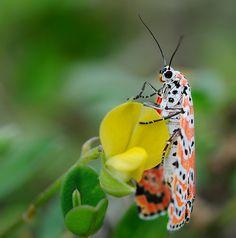 Harlequin moth--- Is God an Artist Supreme, or what?