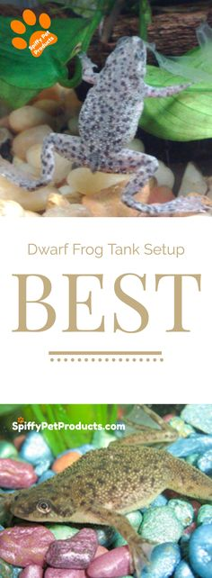 Amphibians like Dwarf Frogs Need Special Care. - Do NOT buy an African dwarf frog tank setup until you read this. Many of the kits marketed. African Frogs, Dwarf Frogs, Frog Habitat, Frog Tank, Frog Baby Showers, Pet Frogs, Frog Theme, Pet Fish, Paludarium