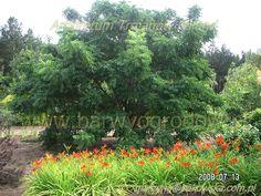 Arboretum Trojanów Poland Hemerocallis Liliowce miniaturowe