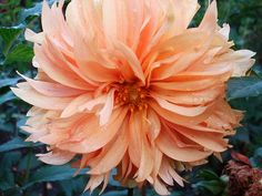 Dahlia  (this would be beautiful tucked above the ear)