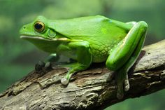 All About Green Tree Frogs   Green Tree Frog by lifeofageek