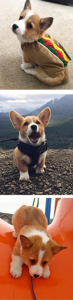 You need to follow these cute, stumpy corgis on Instagram.