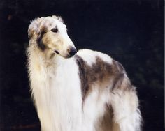 borzoi #dogs #animal #borzoi
