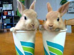 コップにはいっちゃう子うさぎ 漫才編 ミニうさぎ Twin Rabbit in the cup