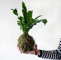 Birds Nest Fern Kokedama