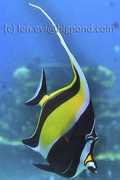 Moorish Idol - SeaWorld