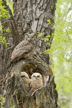 Mom Owl ~ With Her Two Owlets ~ Who Are In The Hollow of The Tree.