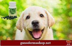 A kutyáknál általában véve a kellemetlen szagsemlegesítő hatása miatt igen kedvelt, de számos más kiváló élettani hatással bíró, magas fehérjatartalmú spiruluna a kutyáknak is javasolt. Számos hasznos ásványi anyagot, és 18 féle aminosavat tartalmaz – egy igazi vitamin és ásványianyag bomba. Klorofilltartalma elősegíti az emésztést és az anyagcsere folyamatokat, lúgosító hatása meggátolja a szervezet savtúltengését. A hosszú élet elixírje: spirulina, a superfood✅ #spirulina Spirulina, Superfood, Labrador Retriever, Dogs, Animals, Labrador Retrievers, Animales, Animaux, Pet Dogs