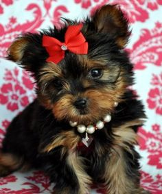 when i finally am able to get a dog, she will be small, will wear a hairbow at all times, and have a pearl collar!