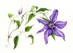 """Clematis """"The President"""" 2012 Pascal Brault"""