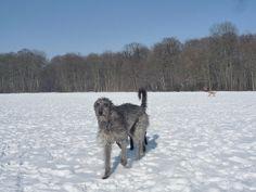 sottish deerhound phot | ... Scottish Deerhound / Schottische Hirschhund | Flickr - Photo Sharing