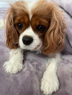 King Charles Spaniel, Cavalier King Charles, Dogs, Pet Dogs, Doggies
