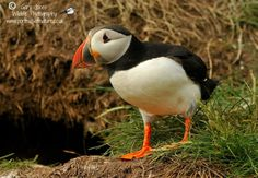 Atlantic Puffin - Gary Jones W/L Photography
