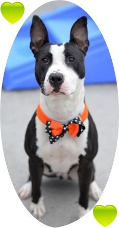Manhattan Center BELLA – A1055491 FEMALE, BLACK / WHITE, AM PIT BULL TER MIX, 2 yrs STRAY – STRAY WAIT, NO HOLD Reason STRAY Intake condition EXAM REQ Intake Date 10/20/2015 http://nycdogs.urgentpodr.org/bella-a1055491/