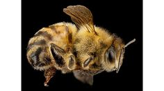 A honey bee, Apis mellifera. This bee was collected from Beltsville, Md. [Credit: U.S. Geological Survey Bee Inventory and Monitoring Lab] Beltsville Maryland, Bee Identification, Million Flowers, Bee Do, Bees And Wasps, The Weather Channel, Insects, African, Honey