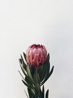 Protea: Try not to fall in love!- We tell more about Protea and its origin in the Nature at Home column (Photo: FLO Botanical Atelier) - Flor Protea, Protea Flower, Protea Art, Protea Bouquet, Garden Care, Pink Flowers, Beautiful Flowers, Flowers Vase, Australian Flowers