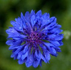 Blue Bachelor's Button Flower by Mechele Hayton Perkins