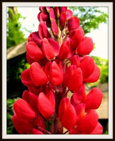 Red lupin at the Garden House - Buckland Monachorum, Devon