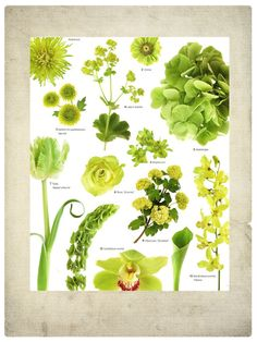 1.) Spider chrysanthemum, 'Shamrock' 2.) Zinnia 3.) Santini chrysanthemum, 'Kermit' 4.) Lady's mantle 5.) Hydrangea 6.) Buplerum 7.) Tulip, 'Weber's Parrot' 8.) Rose, 'Emerald' 9.) Viburnum, 'Snowball' 10.) Dendrobium orchid, 'Fatima' 11.) Bells of Ireland 12.) Cymbidium orchid 13.) Calla lily, 'Green Goddess'