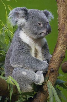 poser! - Koala bear (by ucumari)   (magicalnaturetour:)