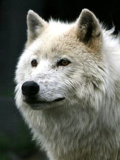 the wolf features strongly in many folk tales