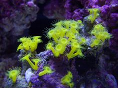 Marine Aquarium Anemone39s Carpet Anemone Long Tentacle