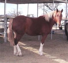 Joy is an adoptable Belgian Horse in Green Valley, AZ. Joy is a beautiful and sweet young mare who is a 'by product' of the Premarin industry. Her dam, Little Miss, served as a PMU mare for many years...