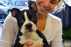 Murphy the Boston Terrier — in New York, New York | via Facebook ✿