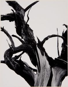 Ansel Adams :: Dead Tree, Sunset Crater National Monument, Arizona. Portfolio II: The National Parks & Monuments, 1950