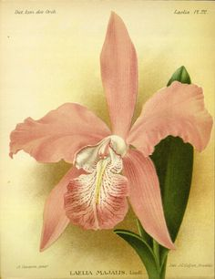 Laelia majalis. Dictionnaire iconographique des orchidees: Laelia Bruxelles :Imp. F. Havermans, 1896-1907. Biodiversitylibrary. Biodivlibrary. BHL. Biodiversity Heritage Library