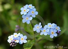 Myosotis alpestris - beautiful small blue flowers - forget me not