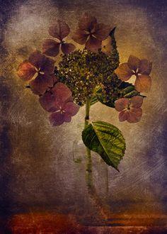Hydrangea by Clint Hudson♥