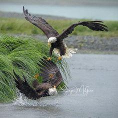 Bald Eagle, Wildlife, Shots, Bird, Animals, Instagram, Animales, Animaux, Birds