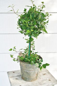 """ivy topiary ~~ from Ironstone and Pine: Getting """"The Look"""" - Modern Design Faux Plants, Green Plants, Potted Plants, Diy Plante, Ivy Plant Indoor, Pots, Plantation, Easy Garden, Growing Plants"""