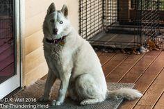 Qannik is having a digestive challenge. #siberianhusky #husky #dogs