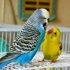 Wonderful -> Parakeets As Pets #superb