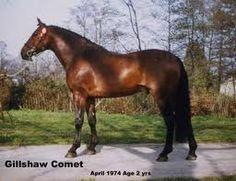 Gillshaw Comet - Cleveland Bay