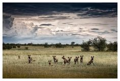 Fine art wildlife print of a pack of wild dogs on an open floodplain in Botswana ( Lycaon pictus ) Wildlife Photography, Landscape Photography, African Wild Dog, Okavango Delta, Future Photos, Take Better Photos, Wild Dogs, African Animals, Cool Landscapes