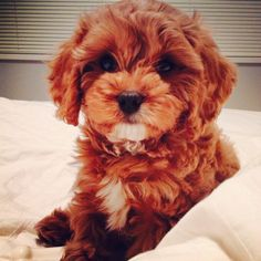 Popular Cavapoo Brown Adorable Dog - af2f3f762ce8d4d0b6e082e51a5e07eb--cutest-puppy-ever-the-cutest  Trends_34182  .jpg