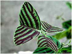 The 94 Best Variegated Plants I Must Grow Images On Pinterest