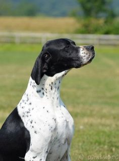 "Learn more relevant information on ""pointer puppies"". Look at our internet site. Best Puppies, Best Dogs, R Dogs, Dogs And Puppies, English Pointer Dog, Pointer Puppies, Dog Rules, Hunting Dogs, Vizsla"