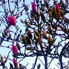 The first magnolia bloom