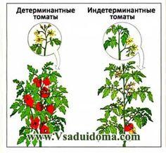 индетерминатные детерминатные растения
