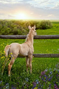 A horse can dream. Creamy beige colored foal looking at sunset while standing in wildflowers.