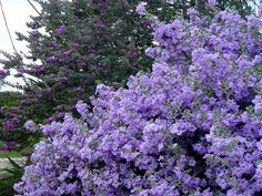 Lynn's Legacy Cenizo - Texas sage that is dense and always blooming