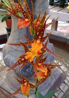 Brassostele Tarantula 'Sweet Orange' (Brassia aurantiaca x Brassostele Summit) CH-21503 #brassostele #oncidiinae #adaglossum #orchid #orchidsbyhausermann   by Orchids by Hausermann