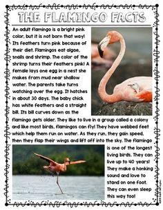 Informational Text {Flamingos} Close Reading & Text Dependent Questions Jan MacFarlane Jan MacFarlane Close Read for Kindergarten and First Grade. Close Reading, Guided Reading, Flamingo Facts, Flamingo Bird, Pink Flamingos, Bird Facts, Turtle Facts, Text Dependent Questions, Kindergarten Language Arts
